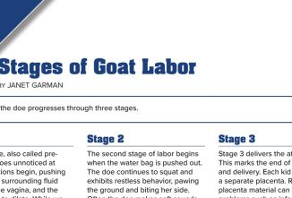 Stages of Goat Labor