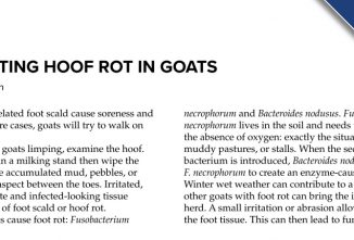Preventing Hoof Rot in Goats