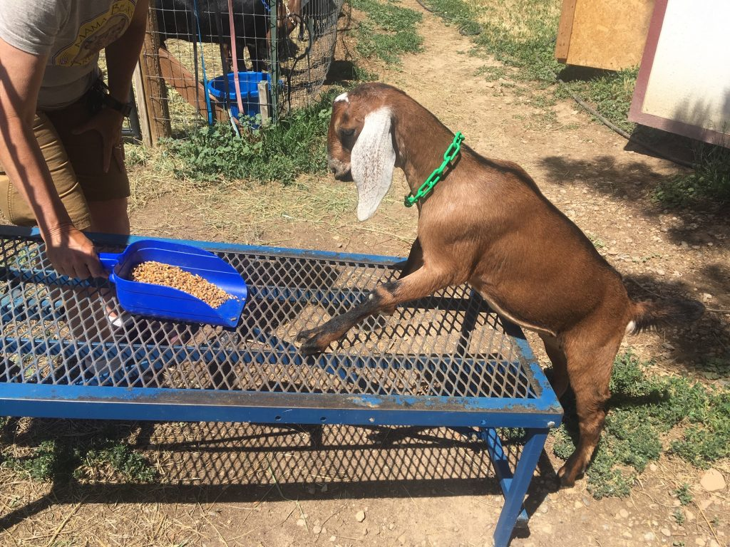 goat-milking-stand