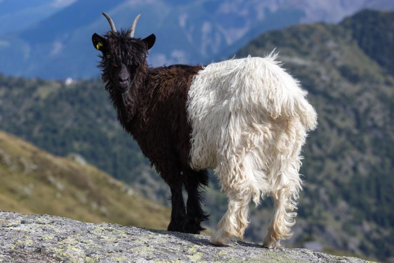 young-goat-in-Alps