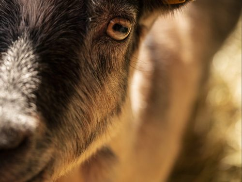 Back from the Vet: Caseous Lymphadenitis in Goats