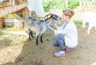 The Basics of Caring for Goats