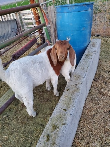 iodine-deficiency-in-goats
