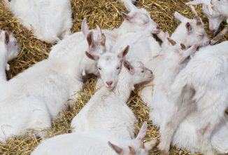Wintertime Pests and Goats