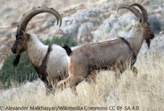 When Were Goats Domesticated, and Where?