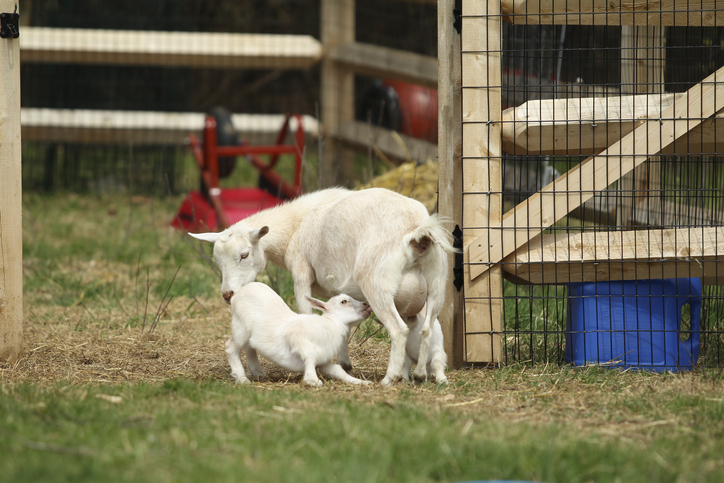 caring-for-goats