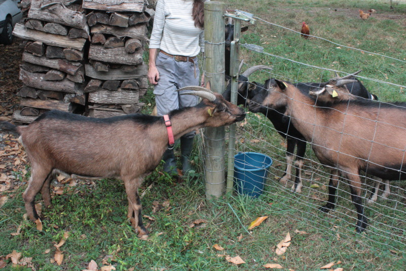 introducing-goats-across-fence