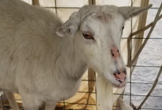 Causes of Hair Loss in Goats