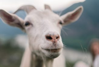 5 Common Illnesses Within a Goat's Nose