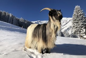 New Valais Goat Breeds Recognized