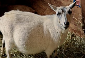 False Pregnancy in Goats