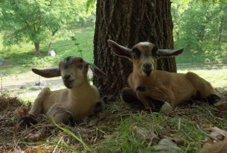 6 Things to Love About Kinder Goats