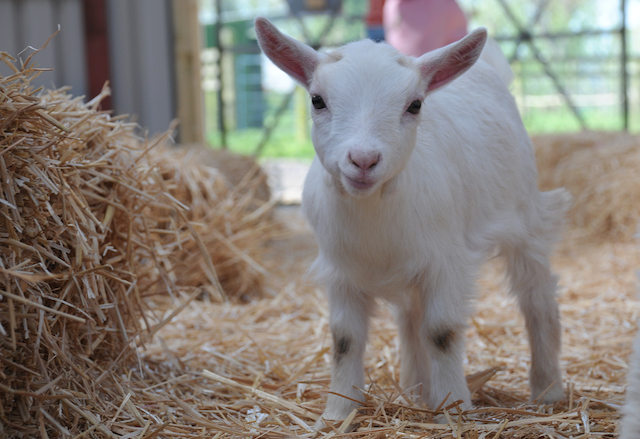 can-you-house-train-a-goat